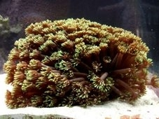 Goniopora species - Flowwerpot, Daisy and Ball coral
