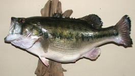 12-lb Largemouth Bass