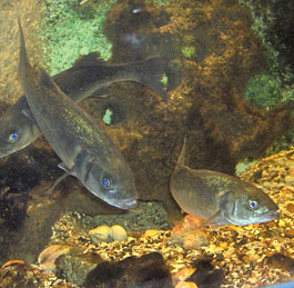 European Bass schooling by rocky outcrop