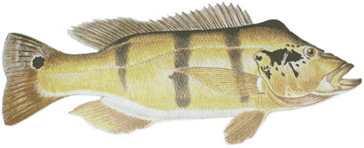 Speckled Peacock Bass