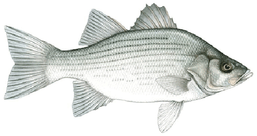 White bass fish images galleries with for White bass fishing