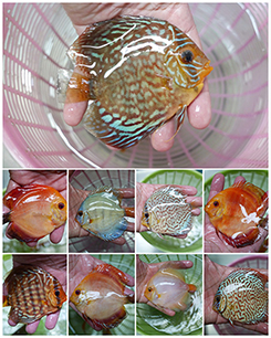 Wholesale Tropical Fish Trading Board - freshwater aquarium fish