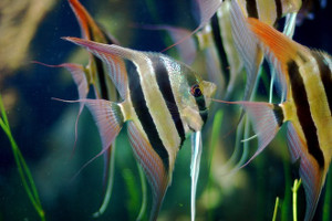 Angelfish Pair
