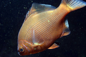 Embiotoca lateralis - Striped perch image