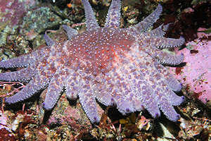 Pycnopodia helianthoides - Sunflower star image