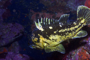 Sebastes chrysomelas - Black and Yellow rockfish image