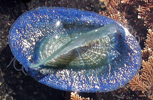 Velella velella - By the wind sailor image