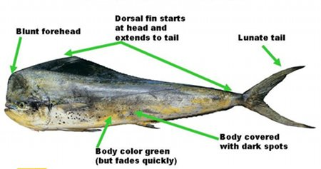 Mahi magi - Courtesy of Oregon Dept. of Fish and Wildlife
