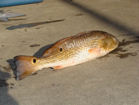 A mature Red Drum, aka redfish, channel bass or spottail bass. Caught off the Gulf Coast of Louisiana. re: Wikipedia