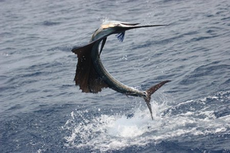 Sailfish - Courtesy NOAA Picture by: John Graves