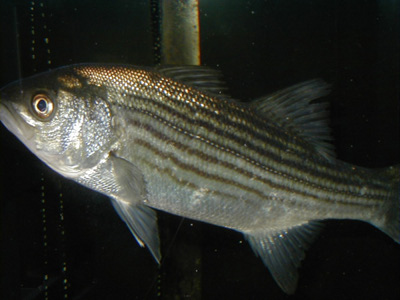 Striped Bass - Courtesy NOAA