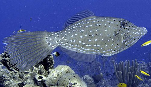 Aluterus scriptus - Scribbled leatherjacket filefish Photo courtesy: Geoff Schultz