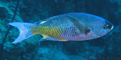 Clepticus parrae - Creole wrasse Photo courtesy: Geoff Schultz