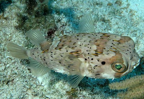 Diodon holacanthus - Longspined porcupinefish Photo courtesy: Geoff Schultz