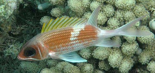 Holocentrus adscensionis - Squirrelfish Photo courtesy: Geoff Schultz