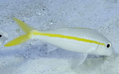 Mulloidichthys martinicus - Yellow Goatfish Photo courtesy: Geoff Schultz