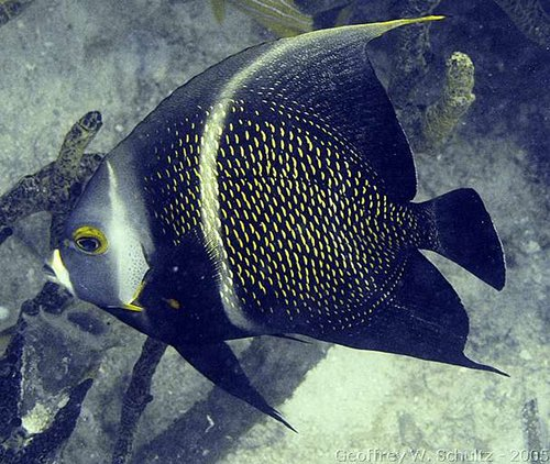 Pomacanthus paru - French Angelfish Photo courtesy: Geoff Schultz