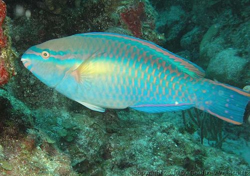 Scarus taeniopterus - Princess parrotfish  Photo courtesy: Geoff Schultz