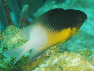 Stegastes partitus - Bicolor Damselfish Photo courtesy: Geoff Schultz