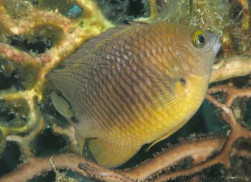 Stegastes planifrons - Threespot damselfish Photo courtesy: Geoff Schultz
