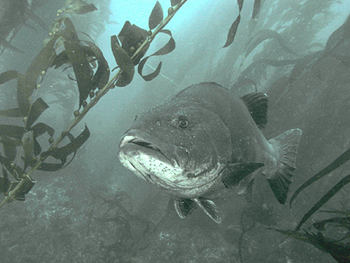 Stereolepis gigas - Giant Sea Bass